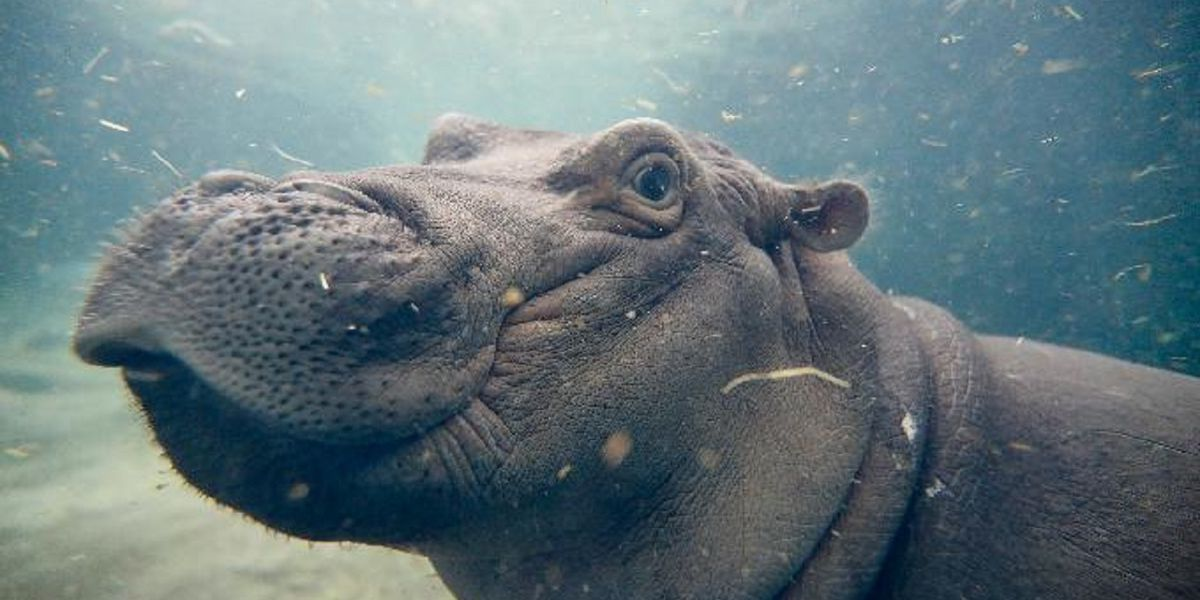 WATCH: Fiona the hippo gives mom hugs and kisses at Cincinnati Zoo