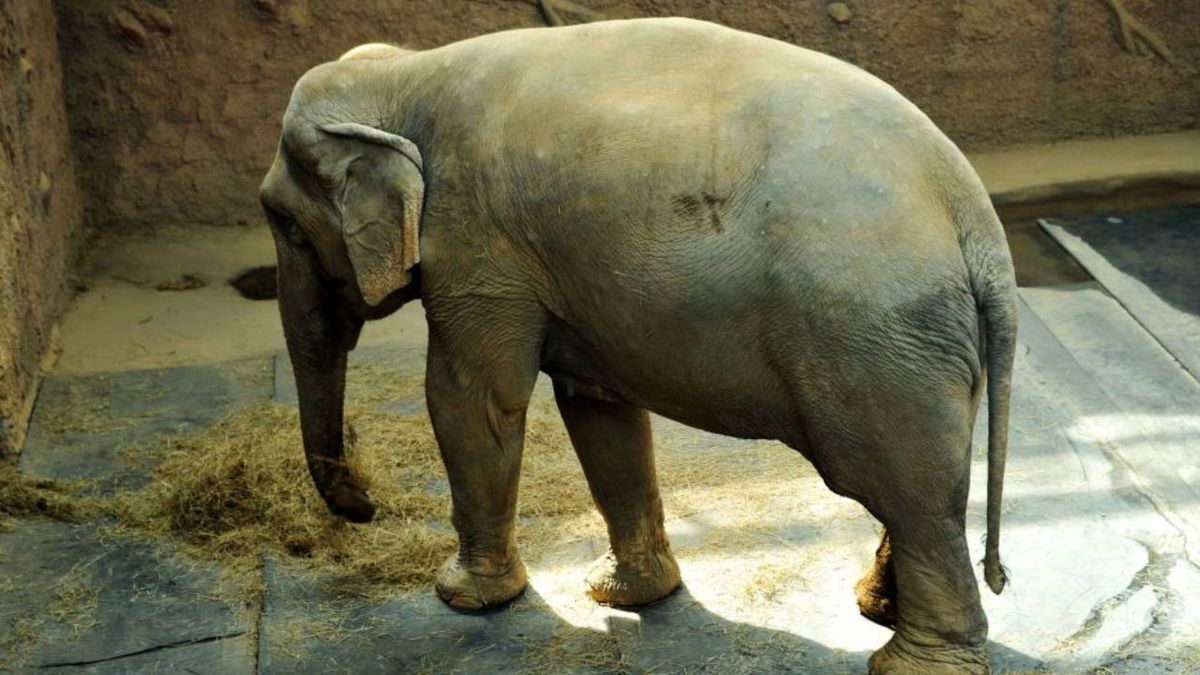 Reba, beloved Asian elephant at Phoenix Zoo for two decades, dead at 51