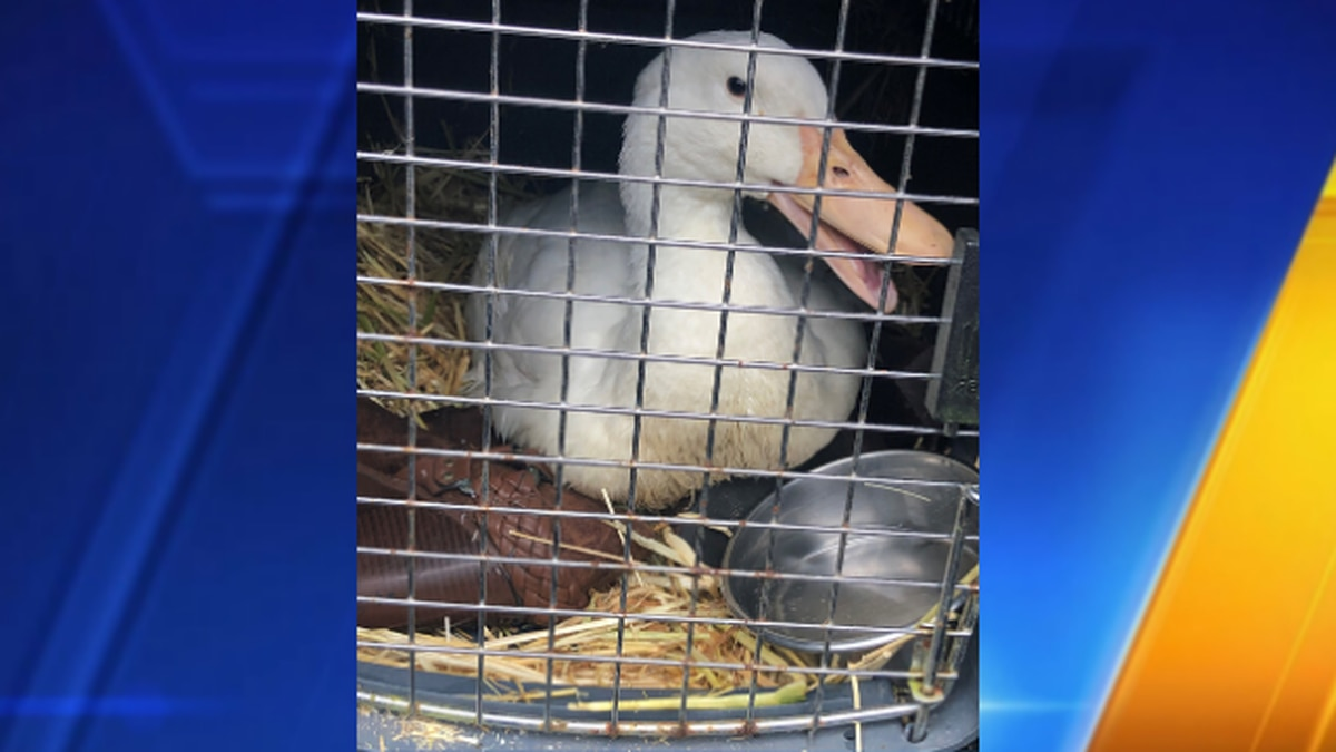 Disabled duck in Washington state needs new legs