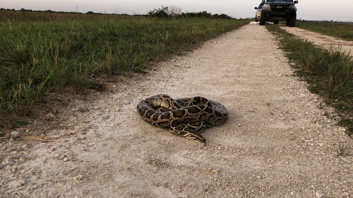 80 pythons removed in Miami Super Bowl Burmese python hunt
