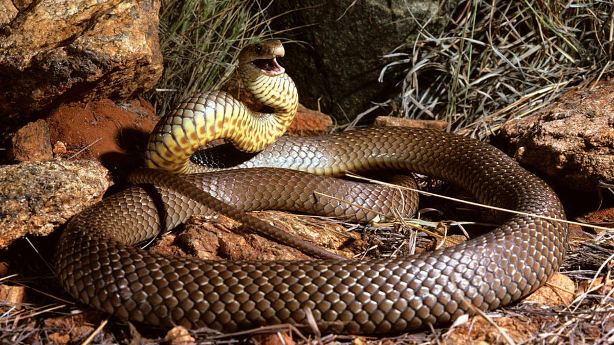 Australian man fights off deadly snake while driving, police say