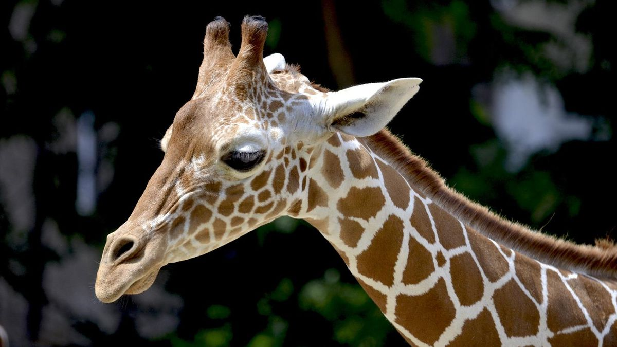 Owner offering $1,000 for return of 13-foot giraffe stolen from St. Louis brewery